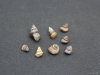 Gastropen, slakken oa Amberleya subimbricata