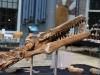 geakring-Friesland-kop-masosaurus