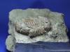 Trilobite Asaphus