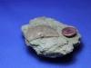 brachiopoda, Strophomena