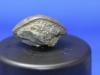 Trilobite Asaphus, pygidium
