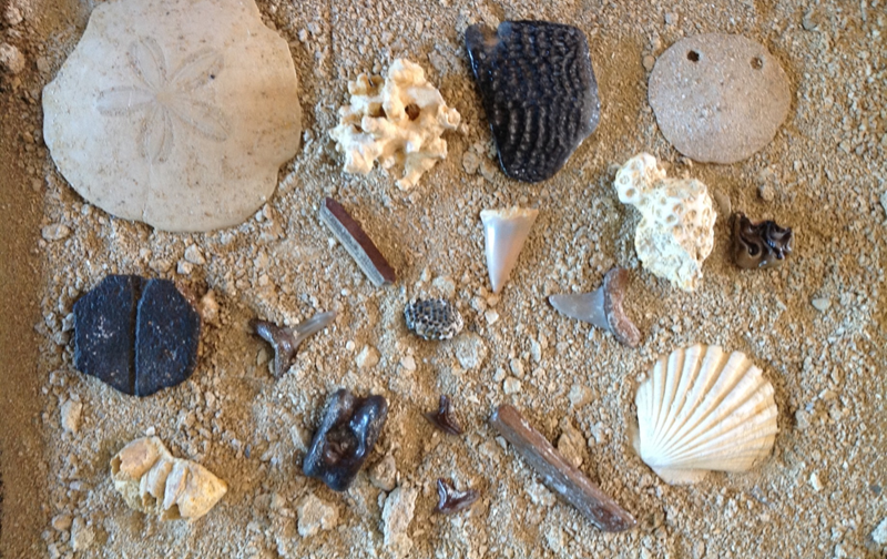 fossielen uit de Falun, Loire