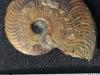 ammonite Des Grands Causes