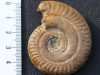 ammonite Des Grands Causes