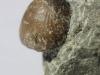 brachiopoda  Rhynchonelliformea ?