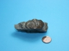 Trilobite Asaphus pygidium